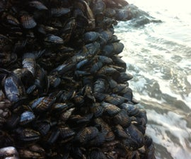 How to Harvest and Cook Mussels