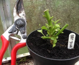 Pruning and Protecting 'Super Hot' Chilli Pepper Plants for Winter