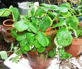 How To Plant  A Strawberry Pot With Strawberries