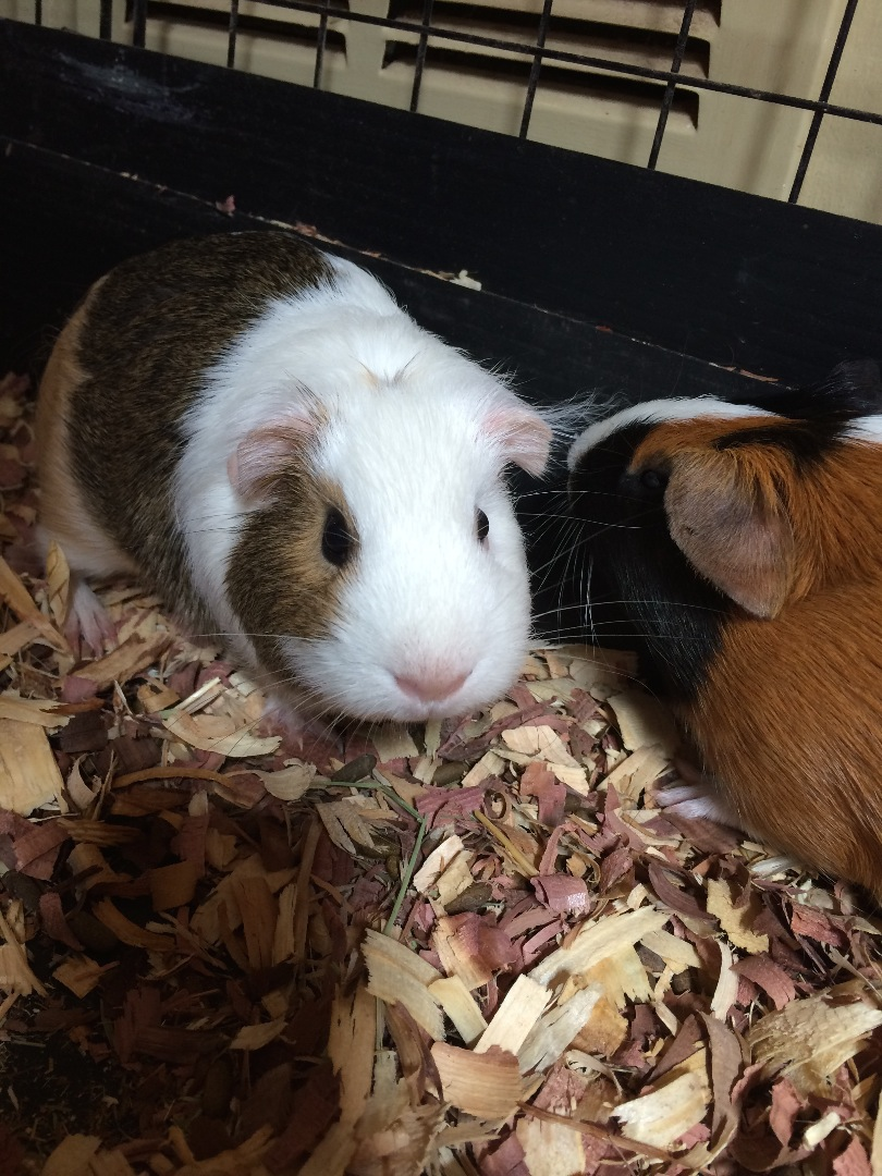 Picture of Teach Guinea Pig to Stand on Hind Legs