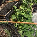 Level 3 Wicking - 'Pop-up' Wicking Beds With Beneficial Microbes (bugs)