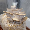 How To Grow Oyster Mushrooms From Store Bought Mushrooms