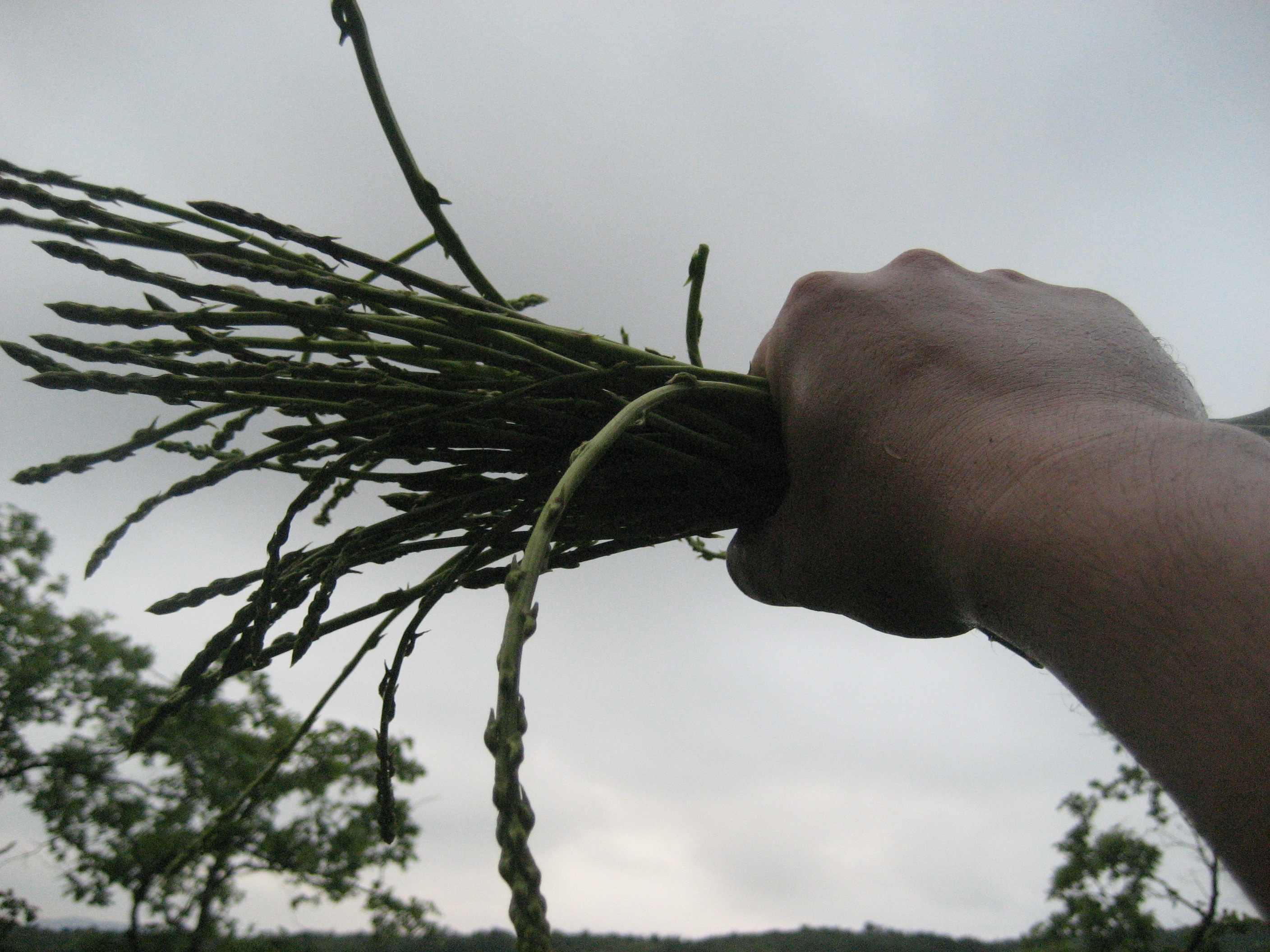 Picture of Wild Asparagus