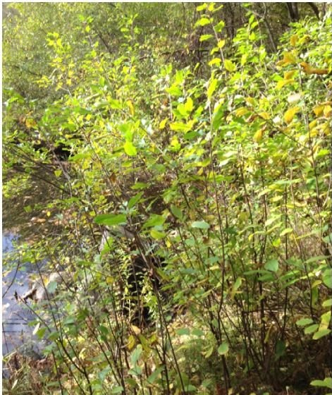 Picture of Determine Common Invasives in Your Community Forests