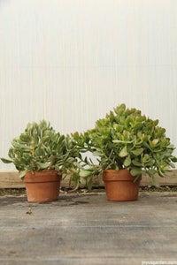 Jade Plant, Money Tree; Crassula Ovata