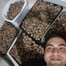 How to Extract Walnut