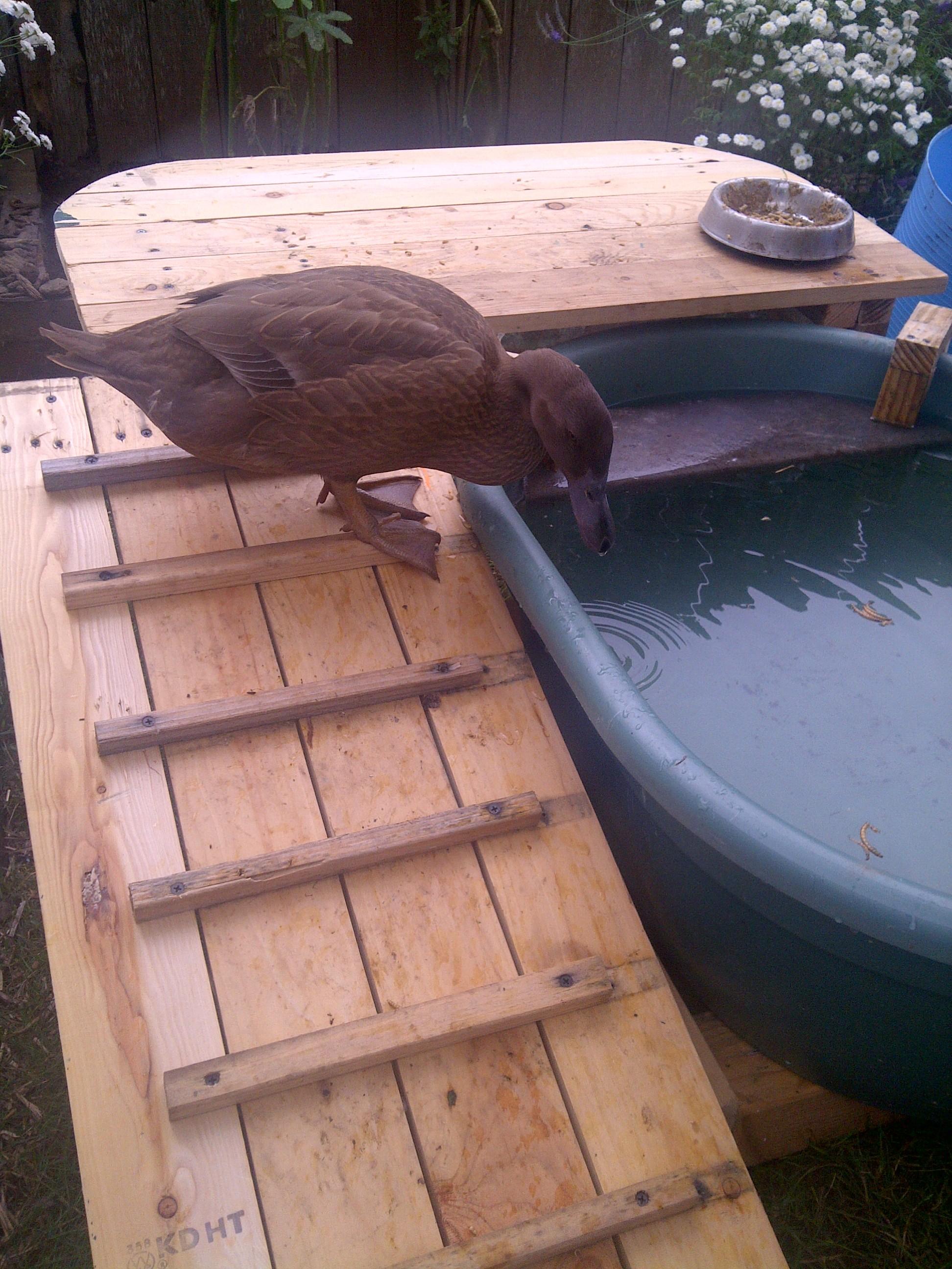 Picture of Duck Deck: Backyard Duck Habitat
