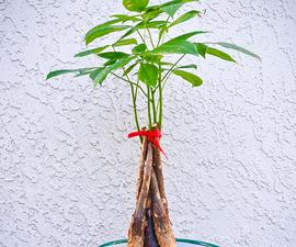 How to Repot a Money Tree AKA Pachira Aquatica