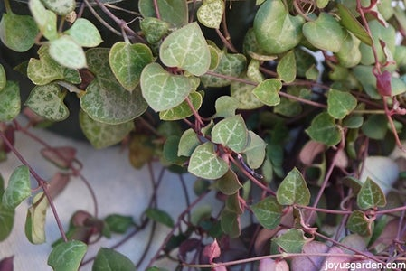 How to Grow String of Hearts or Rosary Vine, a Sweet Succulent-Like Trailing Houseplant
