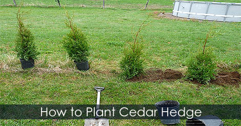 Picture of Hedging Cedar Trees