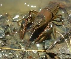 How to Catch and Care for Crawdads (a.k.a. Crayfish and Crawfish)