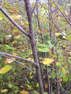 Picture of Identifying Invasive Species:  Buckthorn