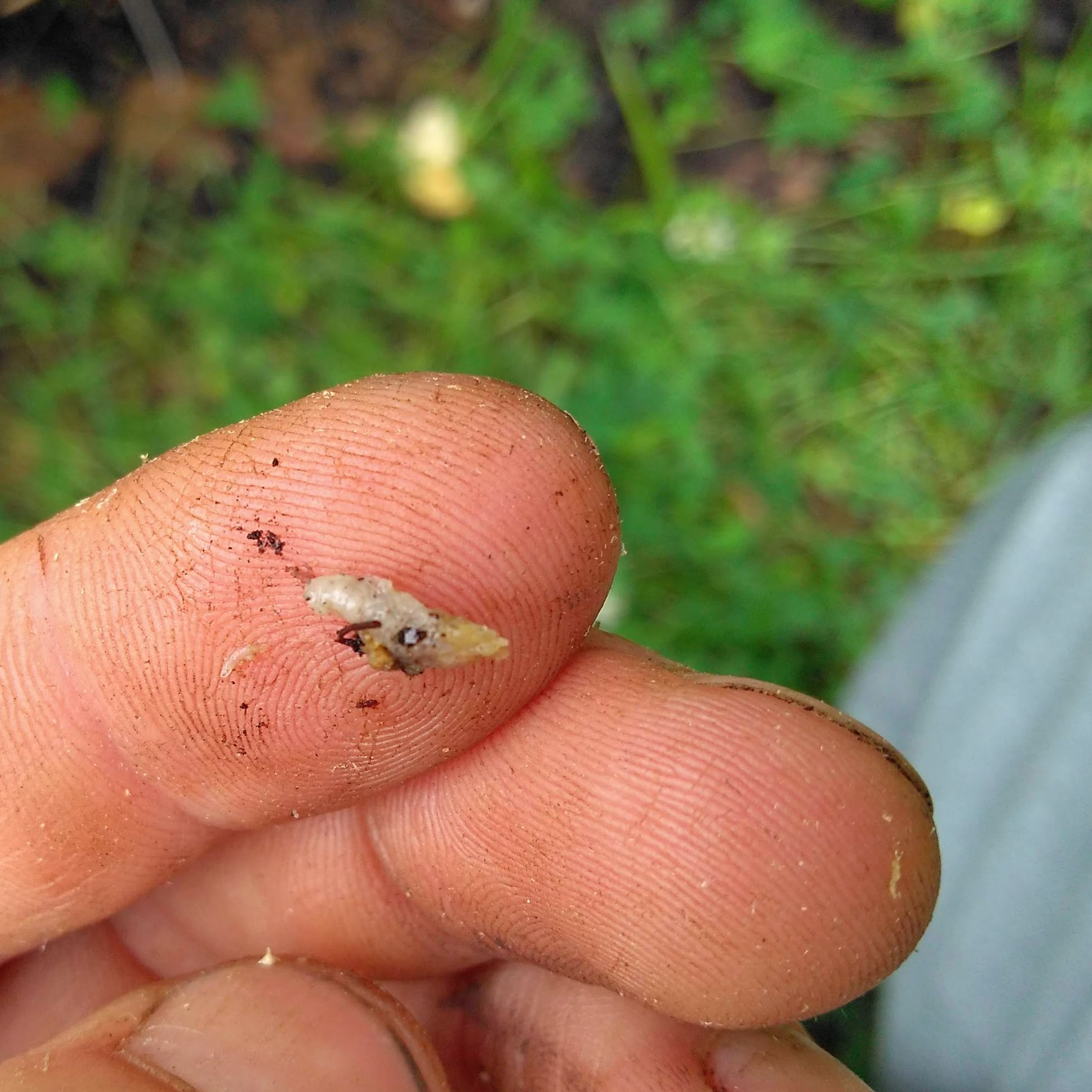 Picture of Vine Borer: Know Your Target