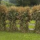 Growing and Freezing Sweet Corn
