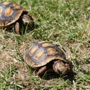 How to Care for a Red Footed Tortoise