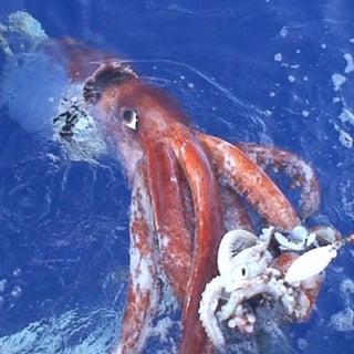 Live_giant_squid_video_December_4_2006.jpg