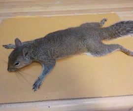 Skinning a Squirrel for Taxidermy