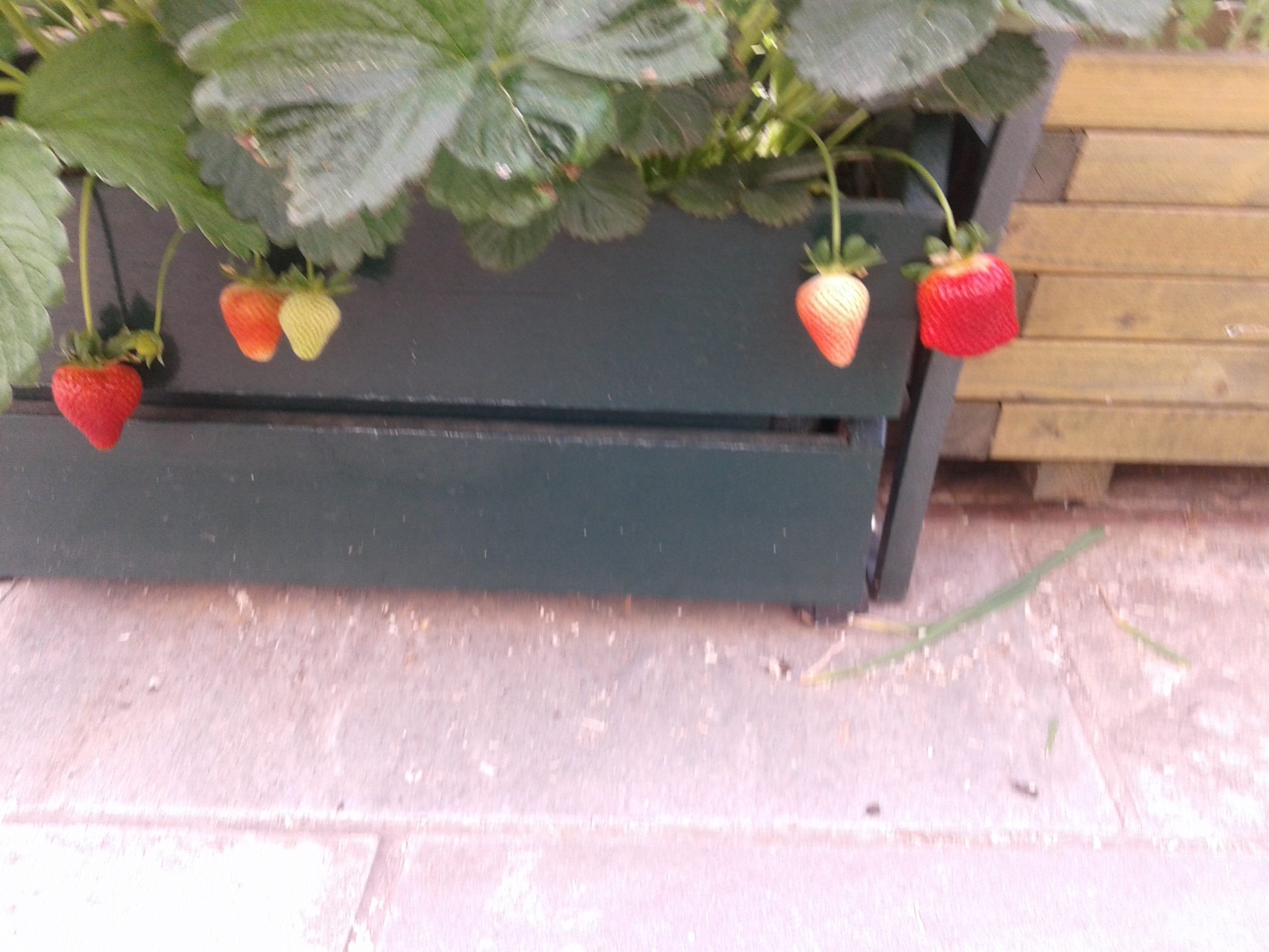 Picture of Strawberry Shelves