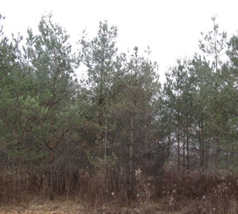 Pine Trees or Conifers