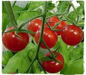 Picture of Tomatoes,watering,feeding,planting,growing Climates,soil