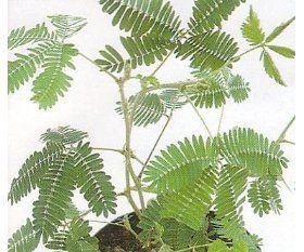 Sensitive Plant Indoors