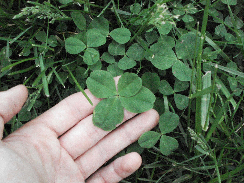 4 Leaf Clovers A Finder S Guide 8 Steps Instructables