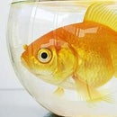 goldfish408