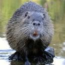beaver84