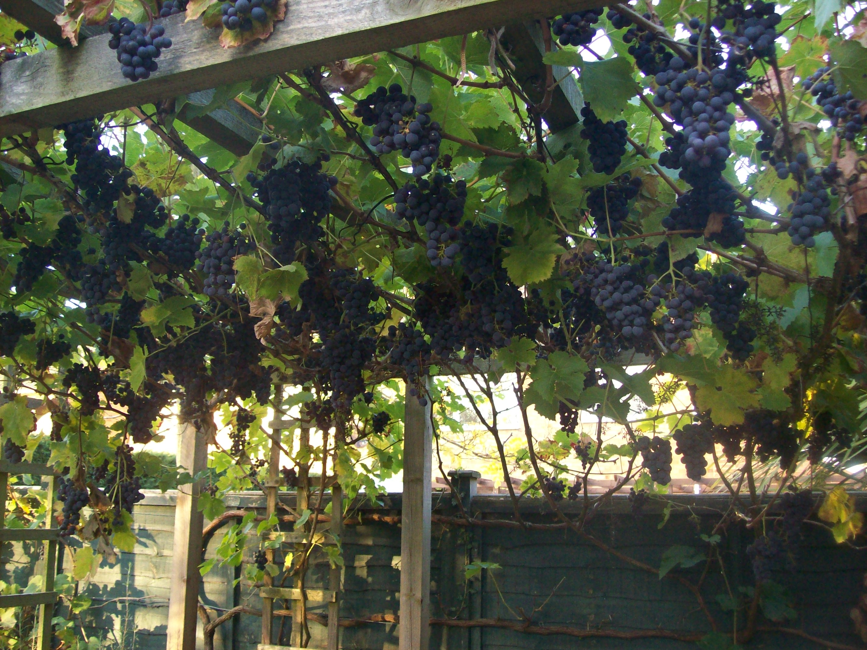 Picture of Pick the Grapes
