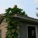 Taking your pumpkins all the way to the roof (top)
