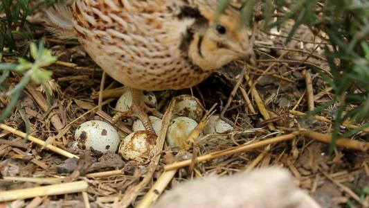 Organically Raised Coturnix Quail Broody and Sitting Eggs.  Codorniz Cubriendo Sus Óvulos  Caille Couve