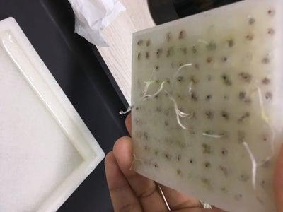 Broccoli Seeds Start to Germinate