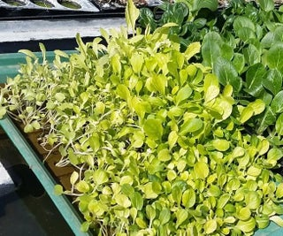 Hydroponic Seedling Preperation and Planting Tutorial
