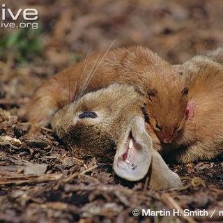 Weasel-feeding-on-rabbit-prey.jpg