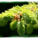 Cough syrup and other uses for spruce tips