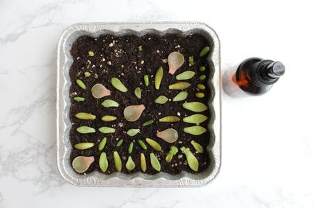 Lay the Succulent Leaves Out on the Soil