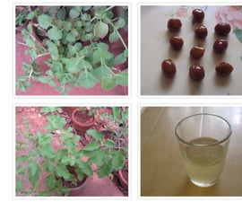 Sore Throat Lozenges and Decoction With Plectranthus Amboinicus Leaves