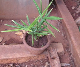 Growing Ginger in Pots at Home