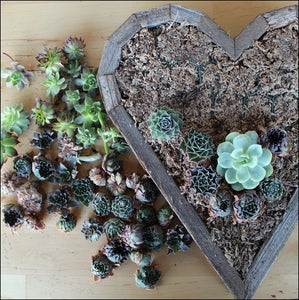 Arrange the Succulent Cuttings on the Dry Moss.