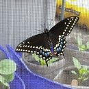 Swallowtail Butterfly Incubation Habitat