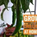How to Grow CHILLIES at Home!