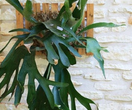 Mounting a Staghorn Fern
