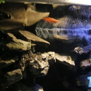 Orange Betta in rocky falls areaa.jpg