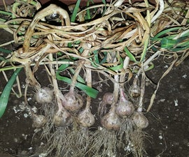 How to Grow Garlic in Urban Orchard