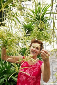 Spider Plant; Chlorophyyum Comosum