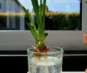Grow Onions ... for Free!