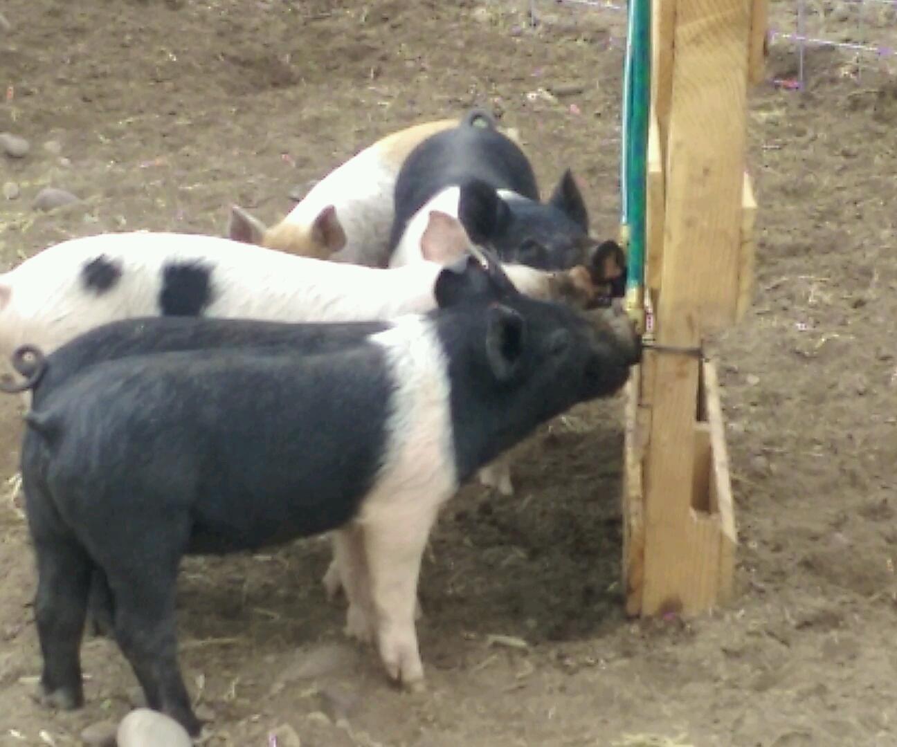 Best hookup websites free no money feeder pigs