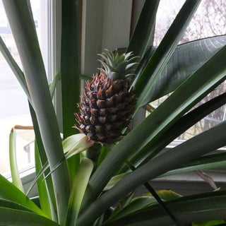 How to Grow Pineapples