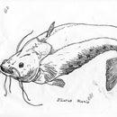 Raise a 743-Pound Catfish