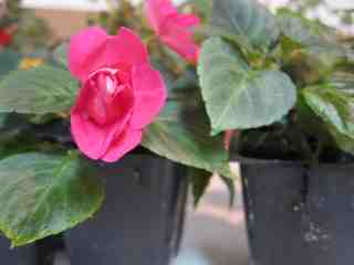 Picture of Start Your Own Impatiens Inside During the Winter